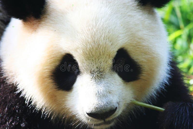 Panda. The giant panda reserve in Chengdu royalty free stock image