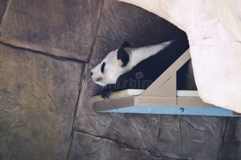 Panda gigante foto de stock royalty free