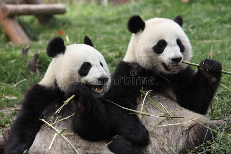 Panda gigante fotografía de archivo libre de regalías