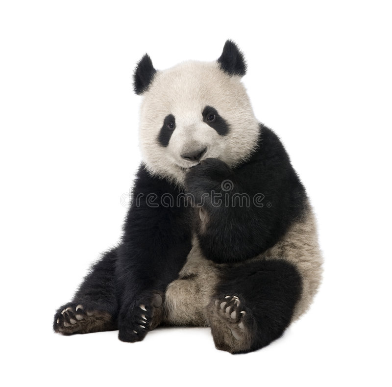 Panda gigante (18 meses) - melanoleuca del Ailuropoda imagenes de archivo