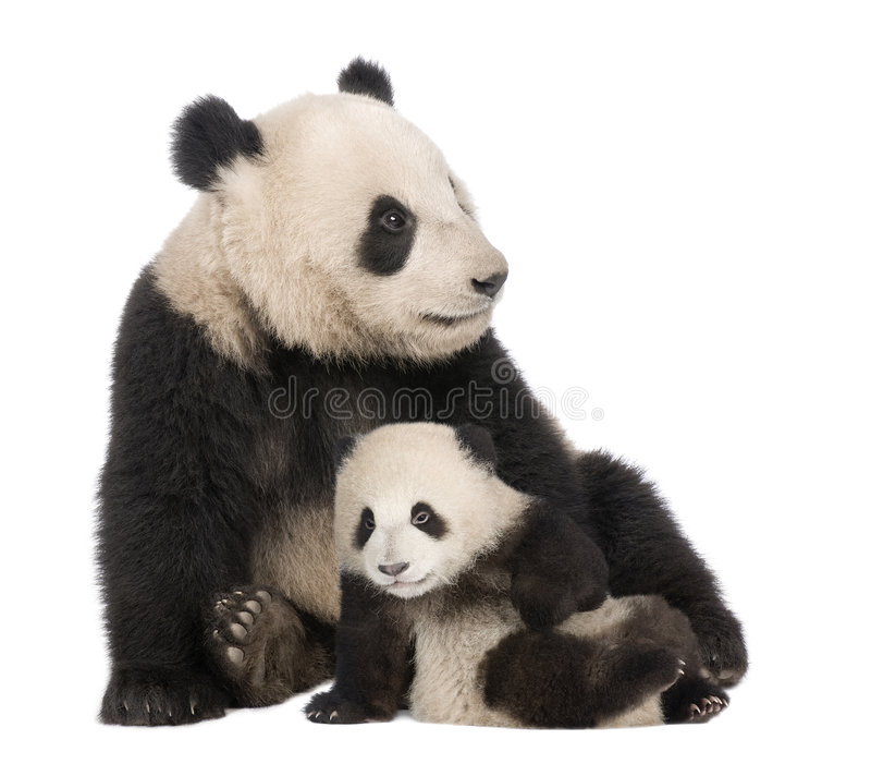 Panda gigante (18 meses) - melanoleuca do Ailuropoda imagens de stock royalty free