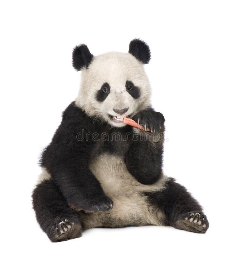 Panda gigante (18 meses) - melanoleuca do Ailuropoda fotos de stock