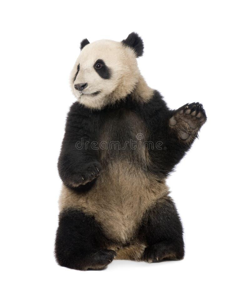 Panda gigante (18 mesi) - melanoleuca del Ailuropoda immagini stock