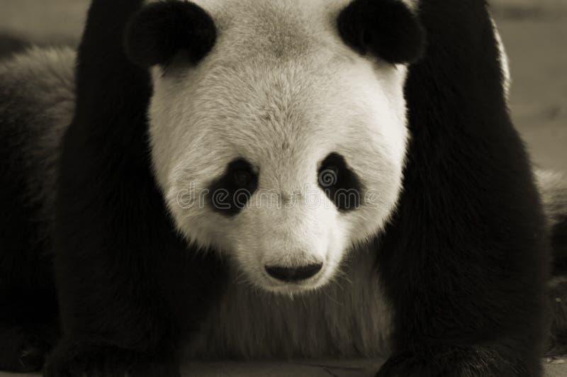 Panda gigante foto de archivo libre de regalías