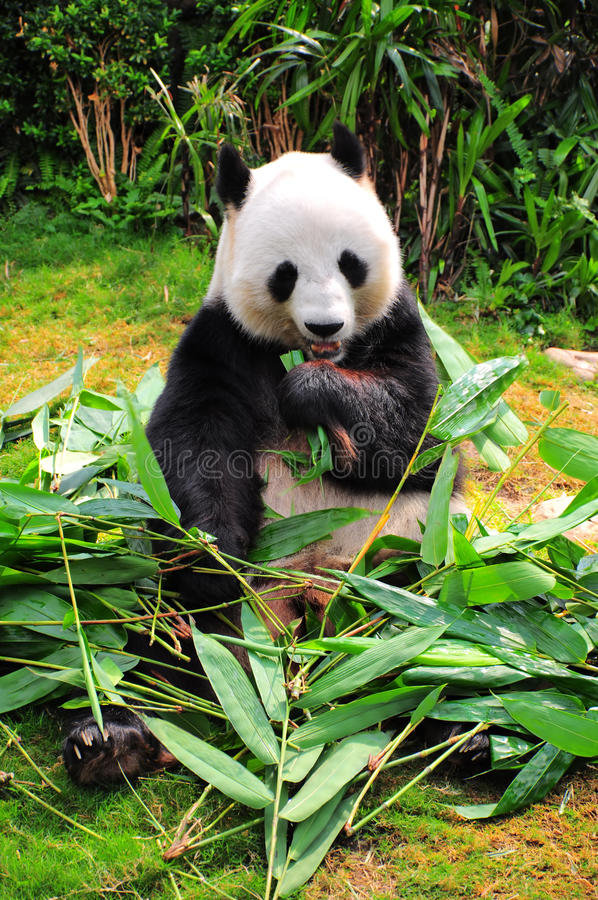 panda gigante imágenes de archivo libres de regalías