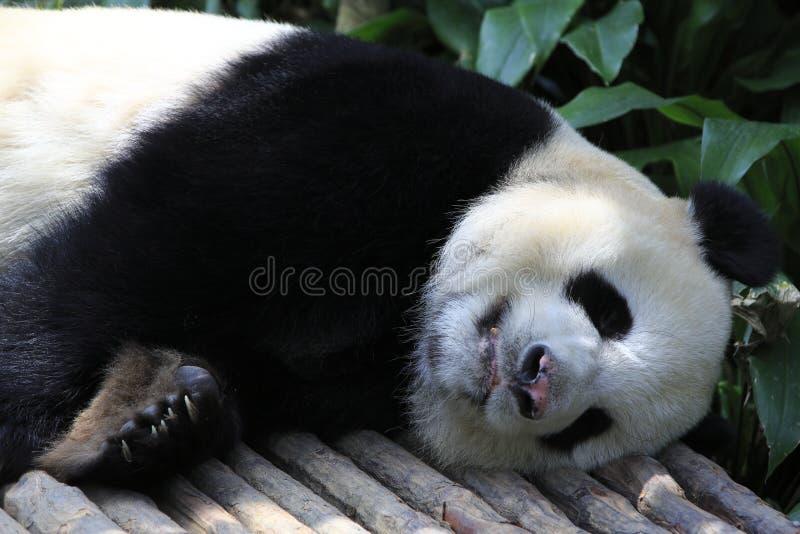 Panda Gigante 8 Imagem de Stock Royalty Free