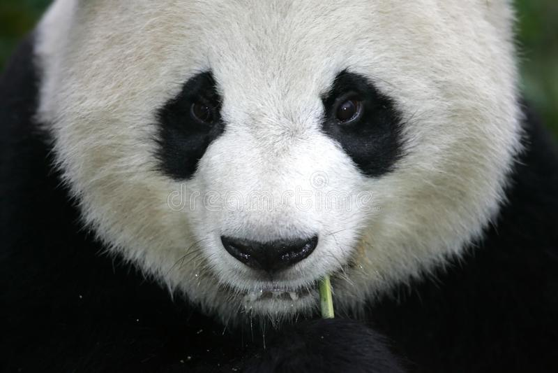 Panda gigante immagine stock libera da diritti