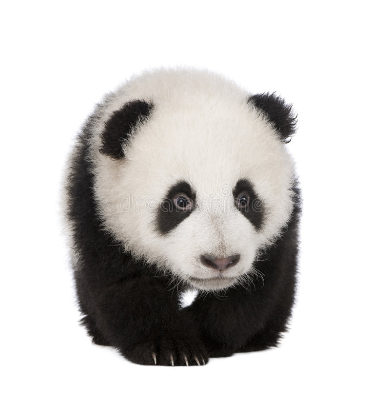 Panda gigante (4 meses) - melanoleuca del Ailuropoda fotografía de archivo