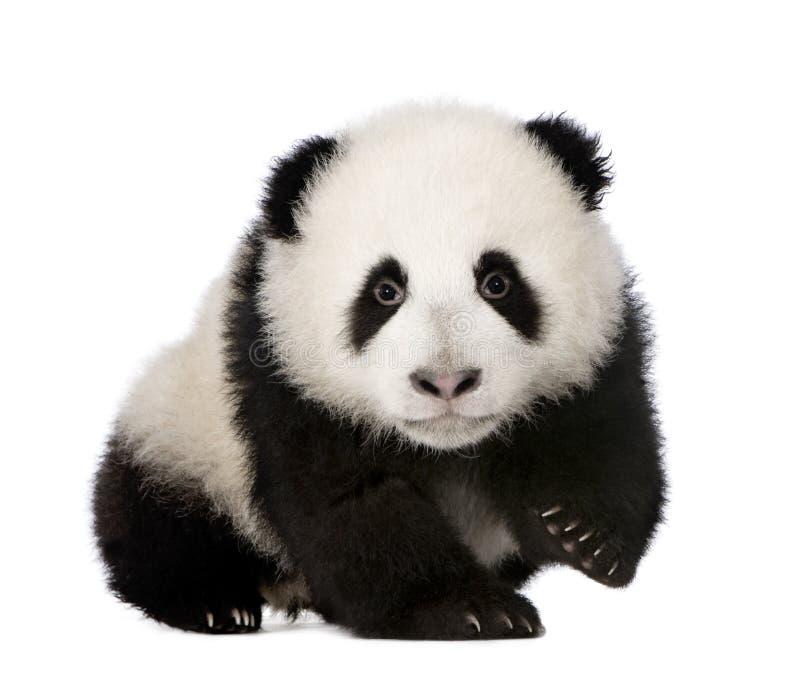 Panda gigante (4 meses) - melanoleuca do Ailuropoda fotos de stock royalty free