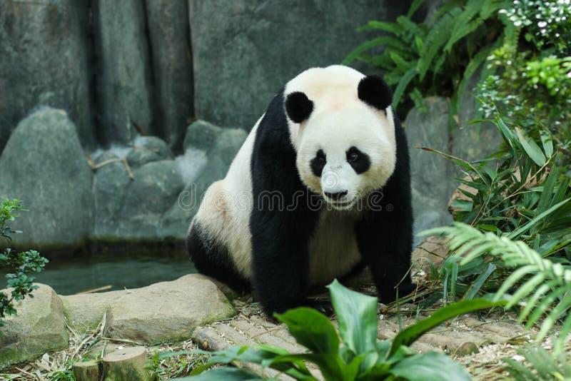 Panda gigante imagenes de archivo