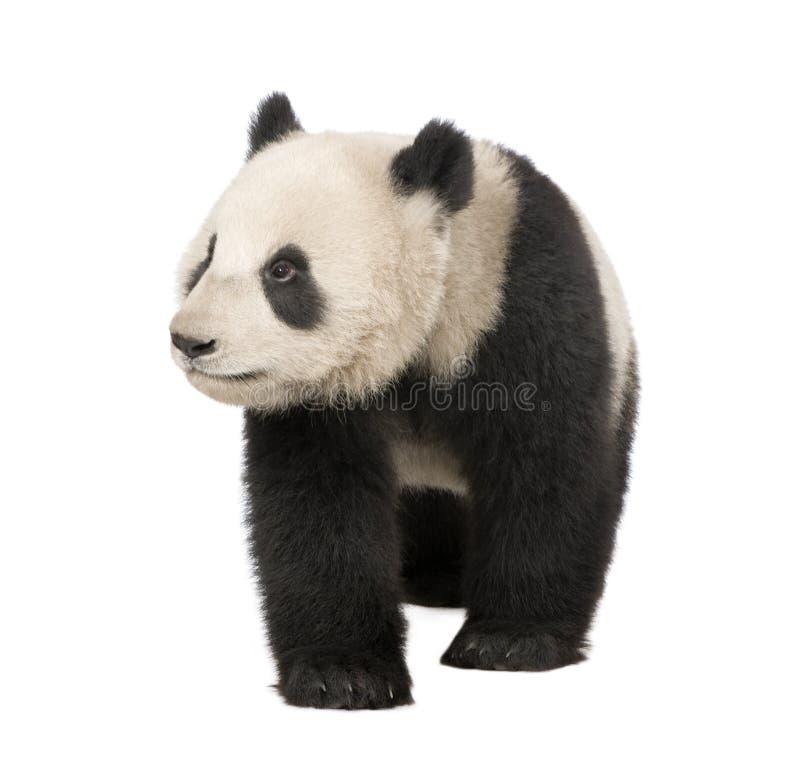 Panda gigante (6 meses) - melanoleuca del Ailuropoda imágenes de archivo libres de regalías