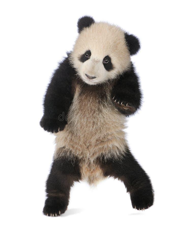 Panda gigante (6 meses) - melanoleuca do Ailuropoda fotos de stock royalty free