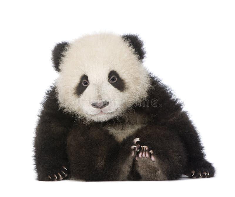Panda gigante (6 meses) - melanoleuca do Ailuropoda fotografia de stock royalty free