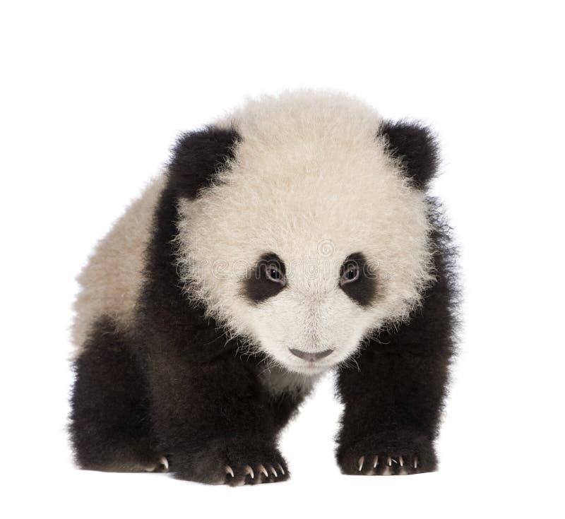 Panda gigante (6 meses) - melanoleuca do Ailuropoda foto de stock royalty free