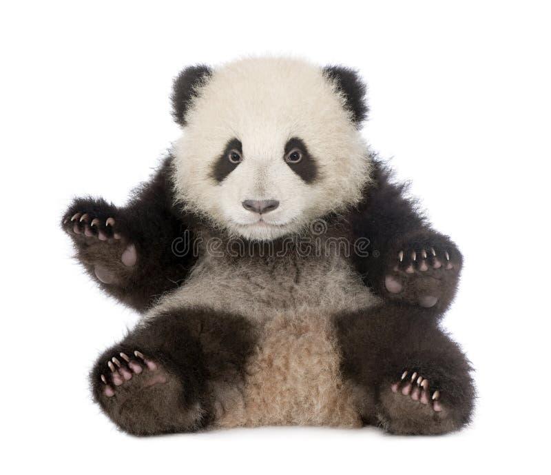 Panda gigante (6 meses) - melanoleuca do Ailuropoda imagem de stock