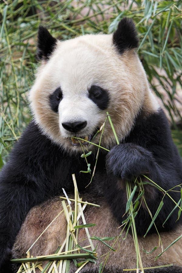 Panda gigante adulta que come el bambú, Chengdu China imagenes de archivo