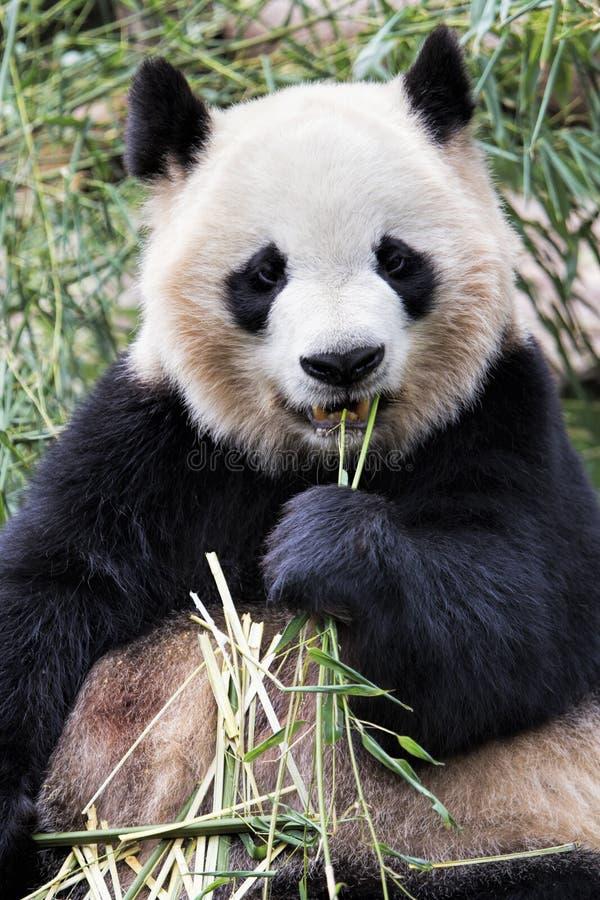 Panda gigante adulta que come el bambú, Chengdu China foto de archivo