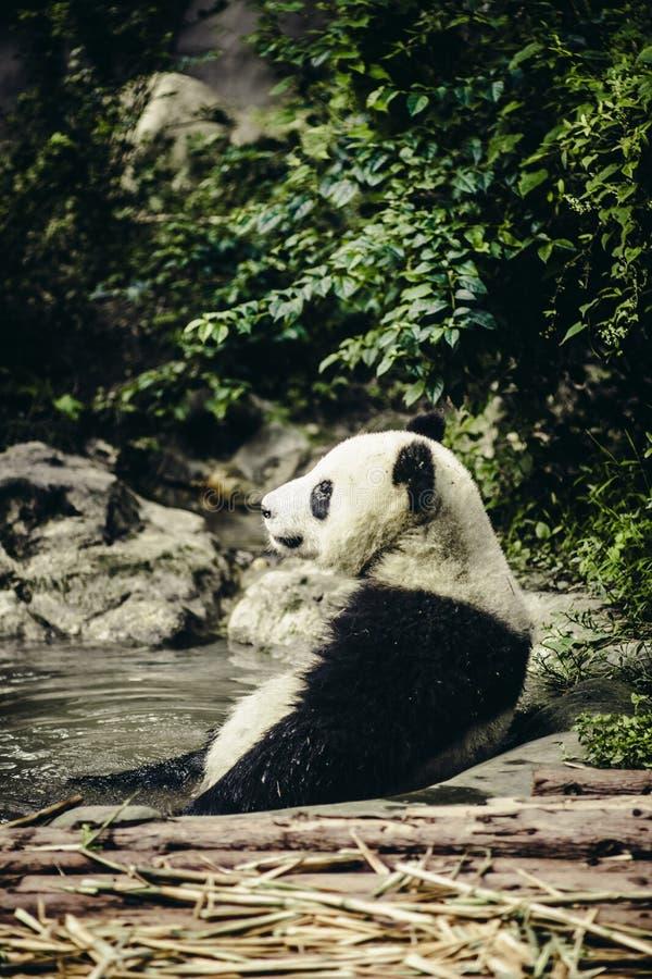 Panda gigante che riposa in acqua fotografia stock