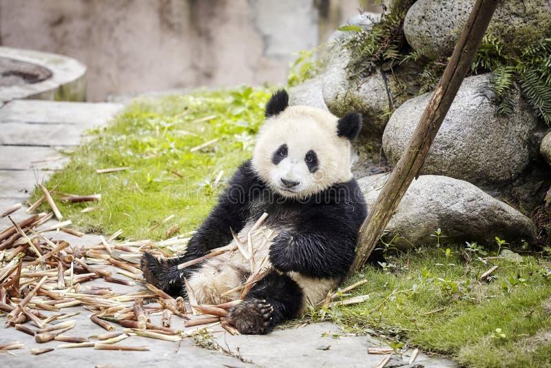 A panda gigante descansa após ter comido o bambu, Chengdu, China fotografia de stock royalty free