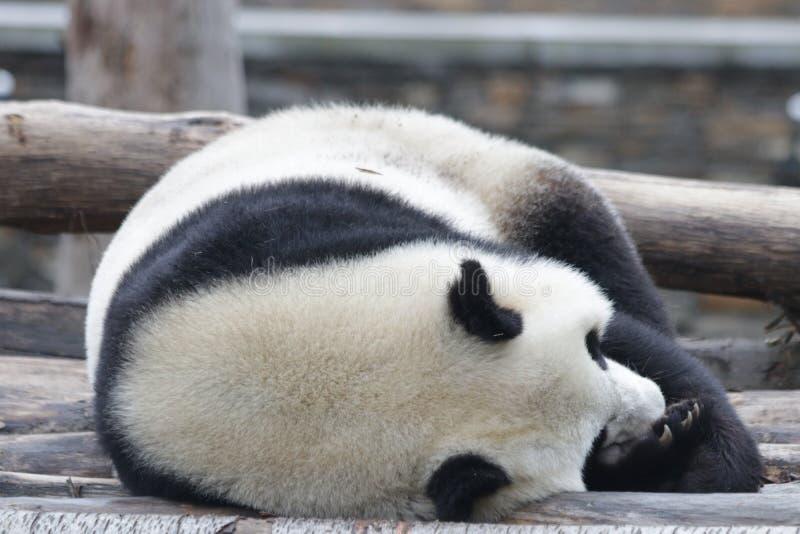 Panda gigante do sono em China fotos de stock