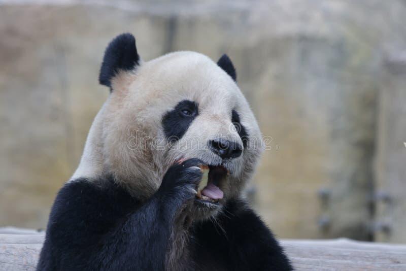 Panda gigante em Chengdu, China fotografia de stock royalty free