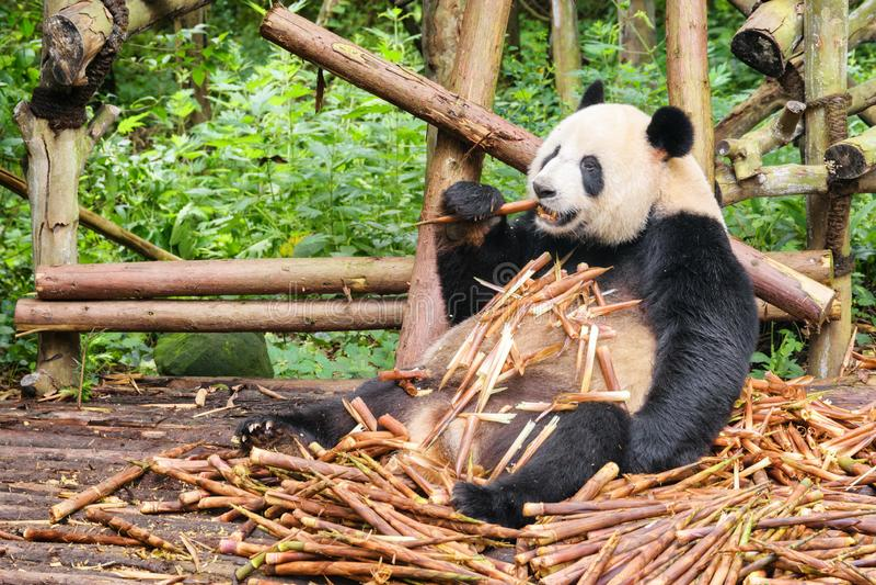 Panda gigante engraçada bonito que come o bambu Animal selvagem na floresta fotos de stock