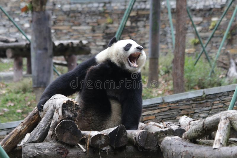 Panda gigante engraçada em China imagens de stock royalty free