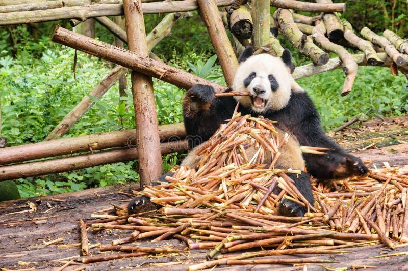Panda gigante engraçada que come o bambu e que olha a câmera imagem de stock royalty free