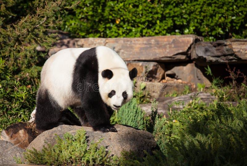 Panda gigante, melanoleuca do Ailuropoda, ou Panda Bear Feche acima da panda bonito gigante com os olhos roxos brilhantes que olh imagem de stock royalty free