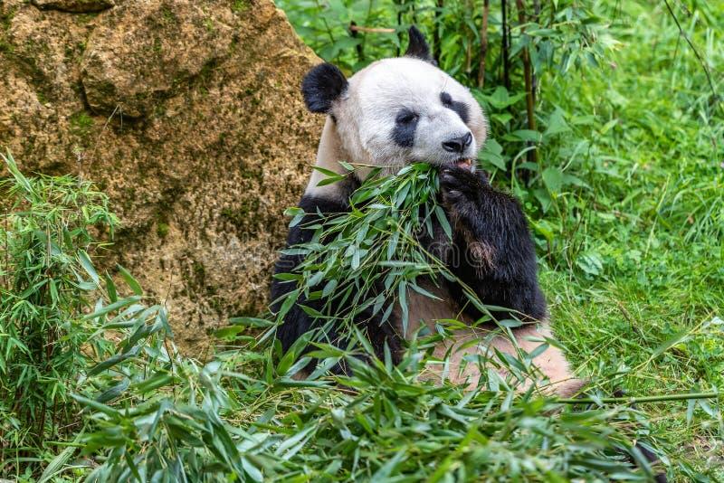 Panda gigante mientras que come el retrato ascendente cercano del bambú imagenes de archivo