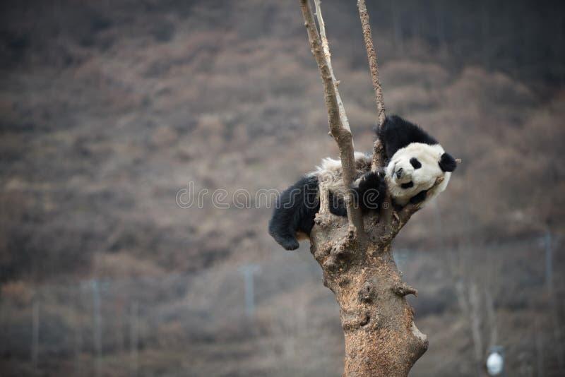 Panda gigante na porcelana de WoLong Sichuan fotografia de stock