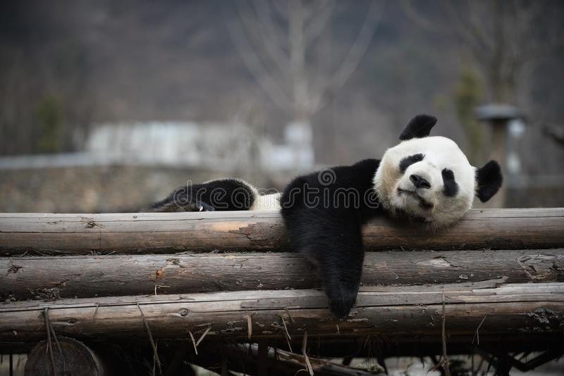 Panda gigante na porcelana de WoLong Sichuan imagem de stock royalty free