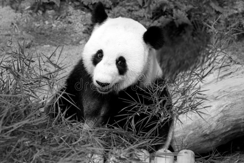Panda gigante no jardim zoológico nacional, Malásia imagens de stock