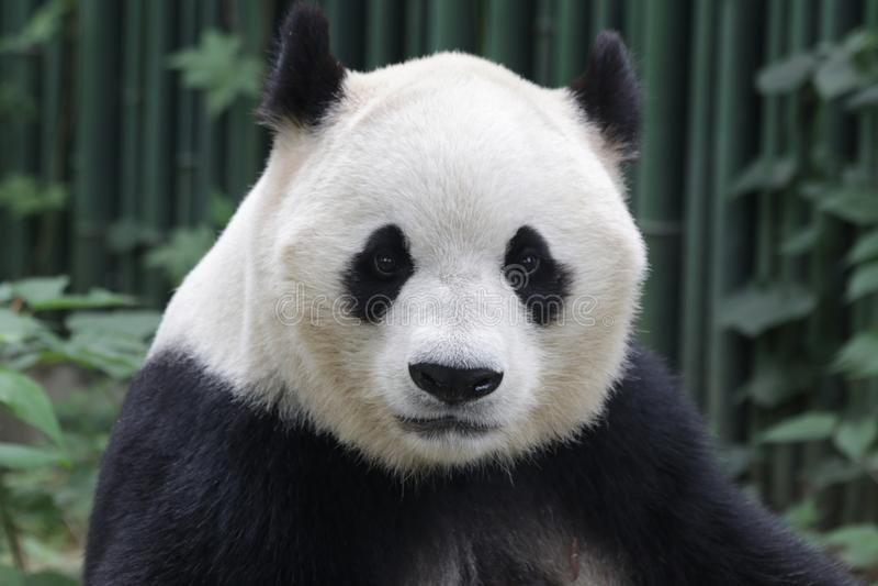 Panda gigante no Pequim, China fotos de stock