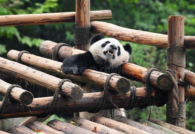 Panda gigante que chama para a ajuda imagens de stock