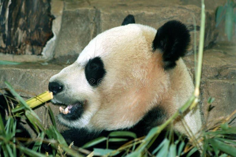 Gigante Panda Eating Bamboo fotos de archivo libres de regalías