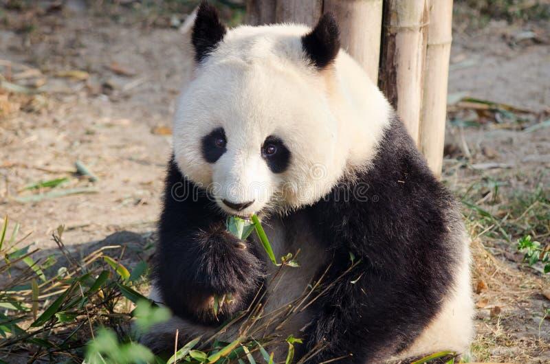 Panda gigante que come el bambú, Chengdu, China imagen de archivo libre de regalías