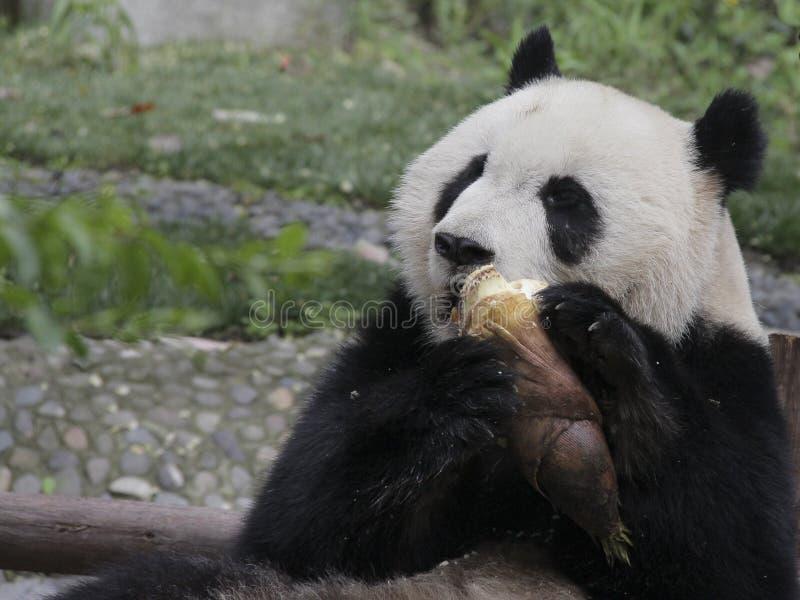 Panda gigante que come el brote de bambú imagen de archivo libre de regalías