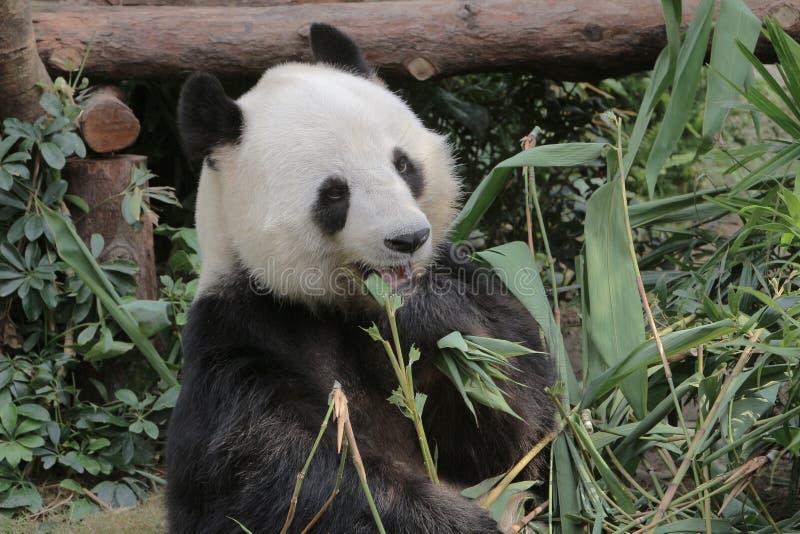 Panda gigante que come las hojas del bambú imagen de archivo