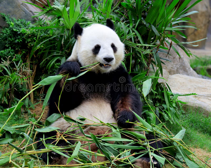Panda gigante que come o bambu fotos de stock royalty free
