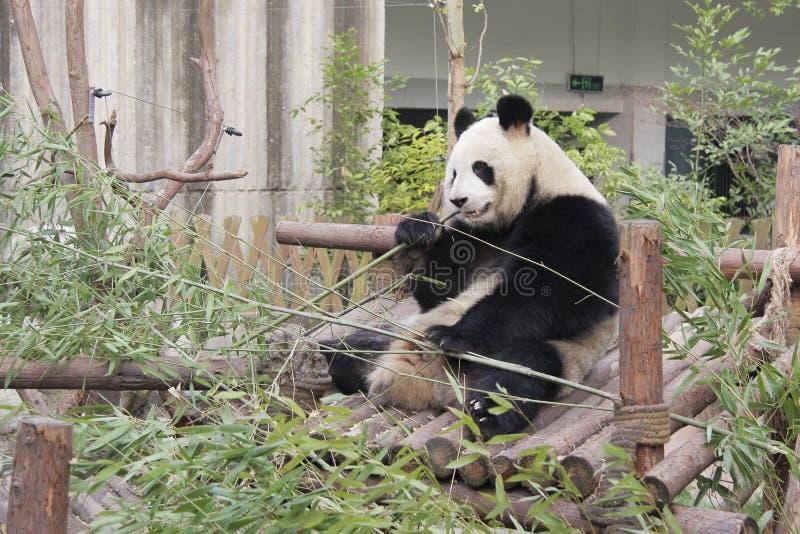 Panda gigante que come o bambu foto de stock