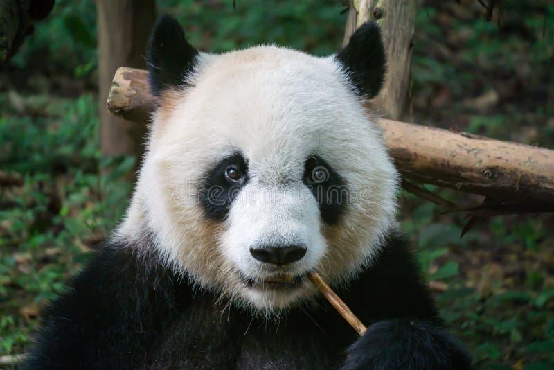 Panda gigante que come o bambu imagens de stock