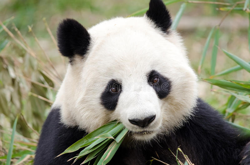 Panda gigante que come o bambu, Chengdu, China foto de stock