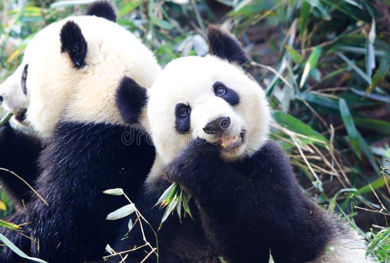 Panda gigante que come o bambu, Chengdu, China foto de stock royalty free
