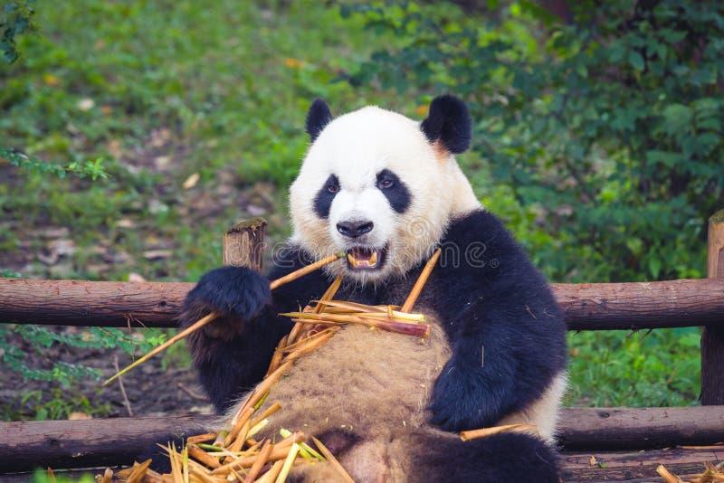 Panda gigante que come o bambu que encontra-se para baixo na madeira província em Chengdu, Sichuan, China fotos de stock royalty free