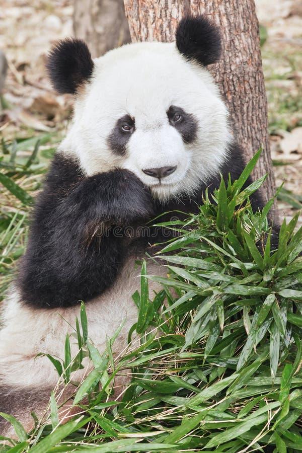 Panda gigante que come o bambu fresco no jardim zoológico de Chengdu, China imagens de stock