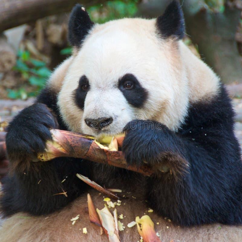 Panda gigante que come o bambu no santuário em Chengdu, China fotos de stock royalty free