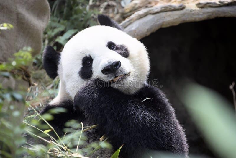 Panda gigante que come o jardim zoológico de bambu Singapura imagem de stock royalty free