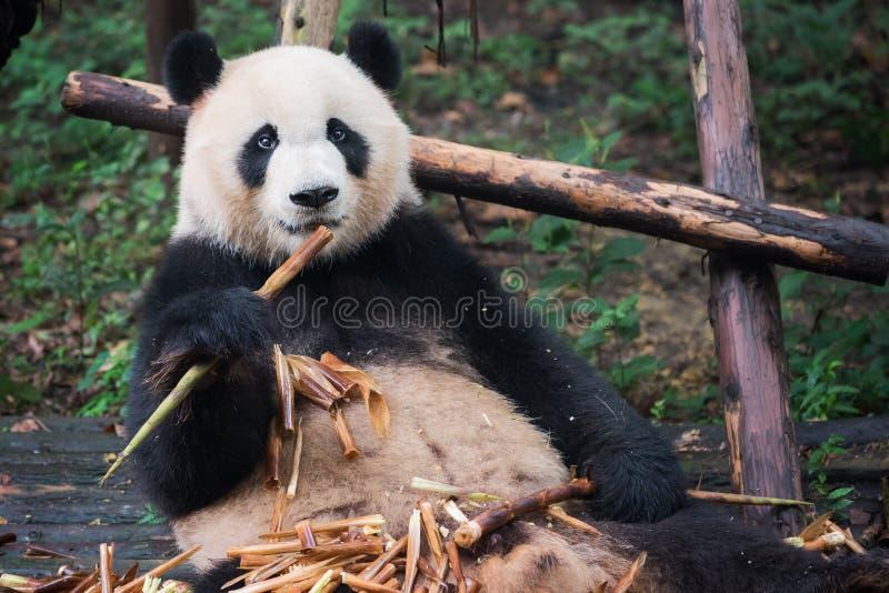 Panda gigante que olha a câmera e que come o bambu fotografia de stock royalty free