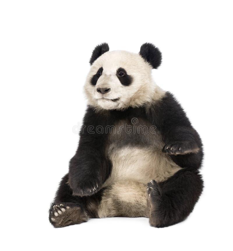 Panda gigante que senta-se de encontro ao fundo branco fotos de stock royalty free